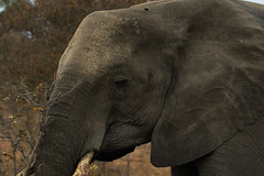 Elephant closeup. (crafty1tutu (Ann)) Tags: travel holiday southafrica africa african animal elephant mammal free roamingfree inthewild wild upclose surrounded motswariprivategamereserve safari canon7dmkii ef100400mmf4556lisiiusm crafty1tutu anncameron naturethroughthelens