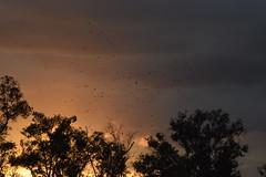 Hormigas Del Cielo (Fran Lemoine) Tags: pajaro pajaros parvada naturaleza nature natural arboles atardecer oscuridad nubes fran lemoine