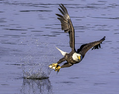 An eagle snags its lunch (crabsandbeer (Kevin Moore)) Tags: autumn fall birds conowingo eagle eagles feathers fish fishing fly maryland nature wildlife water splash talons