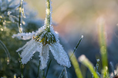 Frosty morning (Infomastern) Tags: cold frost kallt macro makro natur nature exif:model=canoneos760d geocountry camera:make=canon exif:isospeed=100 camera:model=canoneos760d exif:lens=ef100mmf28lmacroisusm geostate exif:focallength=100mm exif:aperture=ƒ40 geocity geolocation exif:make=canon
