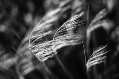 Sweet Surrender (belleshaw) Tags: blackandwhite laarboretum nature grass wind flowing delicate meadow plant blooms detail bokeh feathery