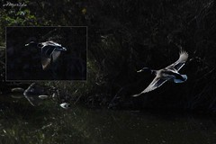 El vuelo del azuln (amerida59) Tags: patos nadeazuln azuln nadereal
