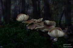 Pilzgruppe (Erwin Lorenzen) Tags: pilze mushroom wald pilz canon elo nature natur nahaufnahme makro