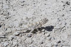 32-Botswana_2016 (Beverly Houwing) Tags: africa agamahispidamakarikarika blendin botswana camouflage desert kalahari kubuisland lizard makadigkadipans makadigkadispinyagama reptile saltpan spikes spiny