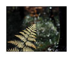 Dernires respirations (eric_47) Tags: nature fougre automne fern autumn fort wood lumire light