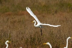 7K8A4047 (rpealit) Tags: scenery wildlife nature chincoteaque national refuge great egrets bird egret