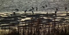 RSPB Rainham Marshes (philm54) Tags: birds ducks river grass foreshore