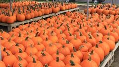 Pumpkin Patch (chantsign) Tags: pumpkins stems orange forsale rows order stands