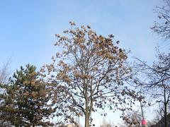 Götterbaum am Straßenrand Gottlieb-Dunkel-Str., Berlin, NGID1452299781 (naturgucker.de) Tags: ngid1452299781 naturguckerde chinesischergötterbaum ailanthusaltissima 915119198 92636685 881229413 cwolfgangkatz