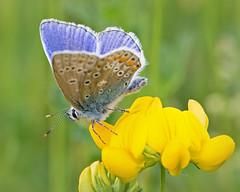 Azuré commun - ♂ - Common Blue (Polyommatus icarus) (eve_bg_1 (on / off)) Tags: azurécommun azurédelabugrane azuré azurédicare commonblue bleucommund'europe bleu argusbleu argus argusicare argusdesbois polyommatinae polyommatusicarus polyommatini papillon butterfly mariposa lepidoptera lépidoptère lycaenidae polyommatus insect insecte insecta macro macrophotographie macrophotography wildlife wildlifephotographer nature outdoor closeup papilionoidea ditrysia rottemburg lycèneicare icare gemeinerbläuling dospuntos lotuscorniculatus lotiercorniculé fabaceae plante plantehôte sabotdelamariée fleur flower jaune yellow parcdesrapides montréal verdun québec birdsfoottrefoil
