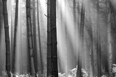 \/\||\||||||/||| (vertblu) Tags: bw mono woods woodland wood inthewoods forest coniferforest conifer conifers ferns bracken fern fog foggy fogandmist morningfog mist misty morningmist treesinmist sunbeam sunlight sunrays naturschutzgebiet nsgweesenerbach weesenerbach lowersaxony lowersaxonygermany naturepreserve preservearea preservationarea vertblu autumn autumnmist fall october tmt
