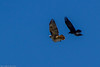 Red-tailed Hawk (Buteo jamaicensis) and Common Raven (Corvus corax) (BiteYourBum.Com Photography) Tags: dawnandjim dawnjim biteyourbum biteyourbumcom copyright©2016biteyourbumcom copyright©biteyourbumcom allrightsreserved canoneos7d canonefs60mmf28macrousm sigma50500mmf4563dgoshsm canonef1740mmf4lusm apple imac5k lightroom5 ipadair appleipadair camranger lrenfuse focusstacking polaroidautofocusdgmacroextensiontubes manfrotto055cxpro3tripod manfrotto804rc2pantilthead loweproprorunner350aw south coast botanic garden palos verdes peninsula california usa southcoast botanicgarden southcoastbotanicgarden palosverdespeninsula palosverdes redtailed hawk buteo jamaicensis redtailedhawk buteojamaicensis common raven corvus corax commonraven corvuscorax