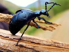 meloe violaceus (Felix_65) Tags: macro animal sony beetle cybershot mature animali insetti natyra dsch3 coleottore