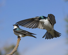 Tree Swallows (Steven Andrachuk) Tags: bird mating swallow bif birdinflight treeswallow matingseason