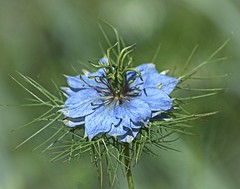 Nigella flowerhead (Chrissie L - doesn't do Photoshop) Tags: nikond70s nigelladamascena ononesoftware capturenx2