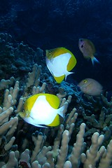 paired butterflies (BarryFackler) Tags: ocean life sea