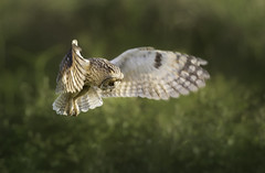 Hunting Long-Eared Owl (Kristian Bell) Tags: long adult bell hunting owl jersey kris kristian eared asio otus 2014 behaviour