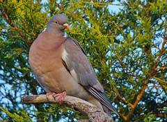 Pigeon from the garden (Warwick Wolf) Tags: pigeon sigma150500mmf563dgoshsm sonya57