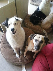 Shepo andPunchkin (Rayya The Vet) Tags: dog pet vet canine australianshepherd crossbreed twitter whippetcross