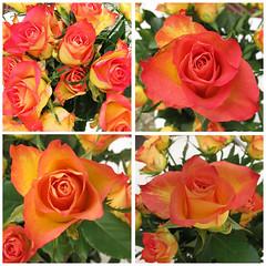 Rozen Explore (24 -07-2014) (Olga and Peter) Tags: roses orange explore rozen oranje 20140724 gimg1414044
