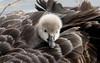 black swan (Cygnus atratus)-2 (rawshorty) Tags: birds australia canberra act jerrabomberrawetlands rawshorty