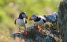 Atlantic puffin (Fratercula arctica) (PeterQQ2009) Tags: birds norway atlanticpuffin fraterculaarctica runde
