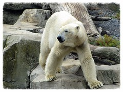 "Eisbär ""Lloyd"" (v8dub) Tags: bear white ice nature animal germany deutschland zoo am meer natur bio arctic lloyd polar tierpark eis weiss allemagne blanc bremerhaven tier bär ours eisbär polaire niedersachsen biodiversité"
