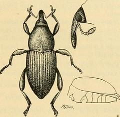 Anglų lietuvių žodynas. Žodis cinchona ledgeriana reiškia chininą ledgeriana lietuviškai.