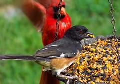 Ooops!  Pardon me! (ChicaD58) Tags: summer birds backyard cardinal eating feeder towhee confrontation malenortherncardinal 060a maleeasterntowhee