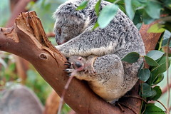 Koala Mother &Child (DirkVandeVelde on and off) Tags: fauna europa europe child belgium belgique belgie sony kind koala antwerp belgica antwerpen mechelen mammalia planckendael anvers malines muizen europ malinas chordata zoogdieren phascolarctidae metatheria planckendaal buideldieren eucalyptusboom