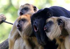 Bohemian Crapsody (Ger Bosma) Tags: cute animal animals fun funny humorous joke humor humour queen parody comical bohemianrhapsody howlermonkey blackhowler alouattacaraya zwartebrulaap caraynegro granalutemeridional manechi monoaraguato monoaulladornegroydorado singehurleurnoir 2mg58194 schwarzebrllaffe monocaraynegroydorado
