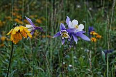Wildflowers (dcstep) Tags: usa canon colorado rob columbine wildflowers allrightsreserved steamboatsprings routtnationalforest steamboatlakestatepark copyright2014davidcstephens dxoopticspro95 mg6515dxosrgb
