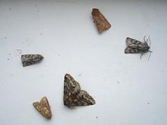 Moths, by Peter Alfrey