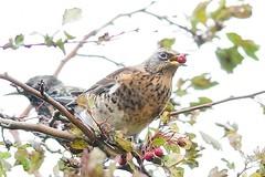 DSC_2479 kramsvogel