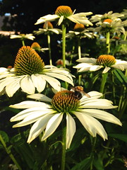 flower beauties in my garden (Kristel Van Loock) Tags: flowers flores nature leuven fleurs flora echinacea natuur blumen natura fiori fiore bloemen whiteflowers fioribianchi wittebloemen