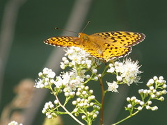 Arctic Fritillary (RonG58) Tags: pictures madrid new trip travel light usa color macro nature butterfly geotagged photography us photo spring day image photos live wildlife maine picture butterflies insects images bugs photograph digitalcamera exploration photooftheday picoftheday nymphalidae elbicho arcticfritillary boloriachariclea fugifilm konchuu purplishfritillary elinsecto dasinsekt harveypond rong58 finepixhs50exr