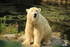 13 (Fruehlingsstern) Tags: berlin zoo tosca polarbear nancy orangutan katjuscha maika eisbr murmeltier berlinerzoo knigspinguin brasilianischersperlingskauz waldmurmeltier