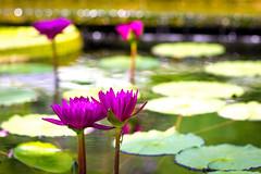 Lotus Bokeh exposure/highlights (PhotoJacko - Jackie Novak) Tags: flower nature water canon pond lily lotus bokeh pad f18 lotusflower chicagobotanicalgarden ef85mm t2i