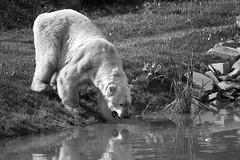 Victor (scadesign) Tags: yorkshire victor polarbear yorkshirewildlifepark