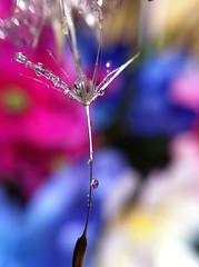 Hanging on by a seed (jilllian2) Tags: macro reflection dewdrops colorful dandelion refraction waterdrops olloclip