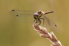 Dragonfly Stack (Al Abbasi) Tags: dragonfly sweden stack uppsala