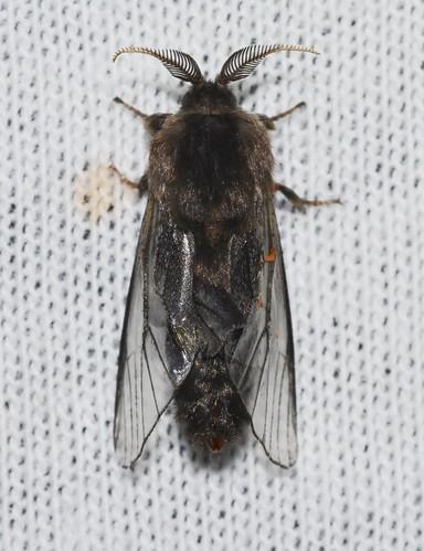 # 0457 – Thyridopteryx ephemeraeformis – Evergreen Bagworm Moth