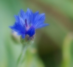 Cornflower in the Wind (~Jeannine~) Tags: blue flower ie wildflower cornflower magicunicornverybest magicunicornmasterpiece