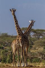 Giraffe. Mother and daughter. (Hector16) Tags: kenya wildlife hills 2014 giraffacamelopardalistippelskirchi chyuluhills chyulu oldonyolodge