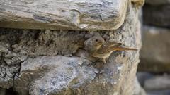 mre rouge-queue (sophiemiglierina) Tags: oiseaux migration vol planeur ciel animaux nature faune sauvage