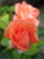 (Tlgyesi Kata) Tags: summer rose blossom rosa rosen botanicalgarden rosier fvszkert botanikuskert rzsa withcanonpowershota620