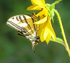 Swallowtail Butterfly Madrona Marsh_8502 (pekabo90401) Tags: butterflies madronamarsh pekabo90401