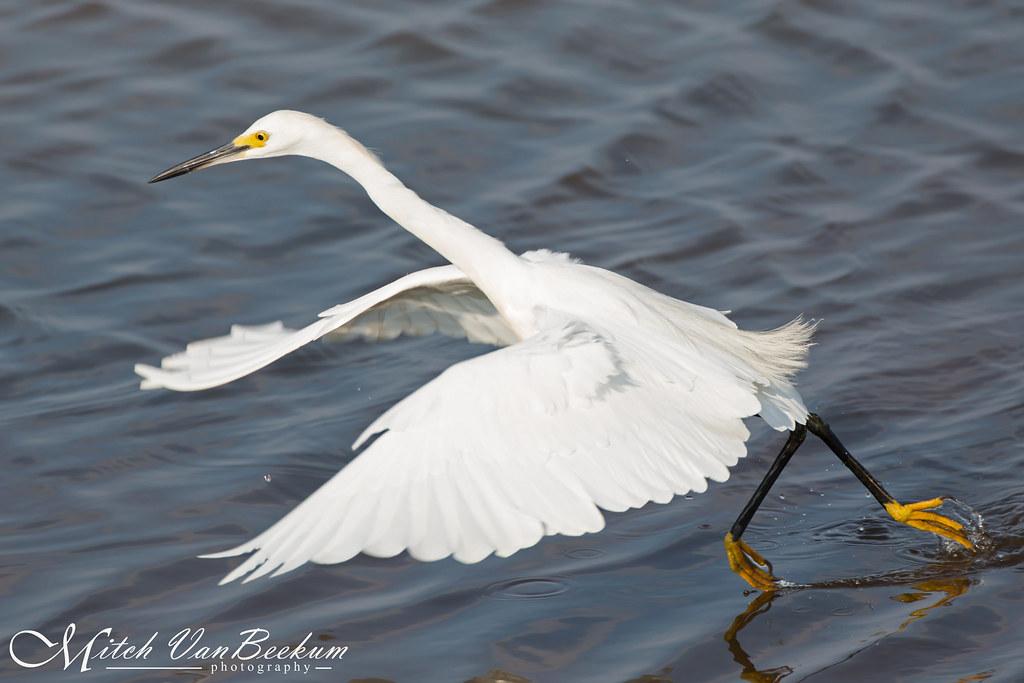 """""""Wave Runner"""" (Snowy Egret)"""