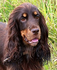Coco (Chrissie28IWish! ~ hubby passed away 5th Dec peace) Tags: portrait dog pets brown black wet grass tongue nose eyes bokeh tan ears spaniel