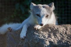 Fox on a Rock (Jay:Dee) Tags: sun white toronto mammal zoo arctic fox basking lagopus vulpes